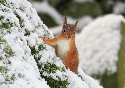 Red Squirrel in Snow this Christmas